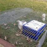 Jak pečovat o domácího králíčka