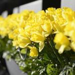 Jak pečovat o narcisy v květináči